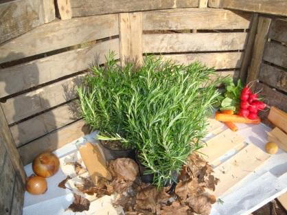 Rosmarin- Für die aromatische mediterane Küche