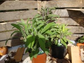 Salbei- Die vielseitige Pflanze
