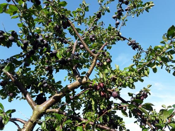 Pflaumenbaum im Juli